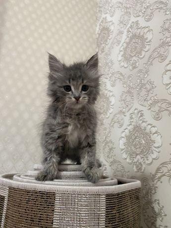 Чистокровный котёнок