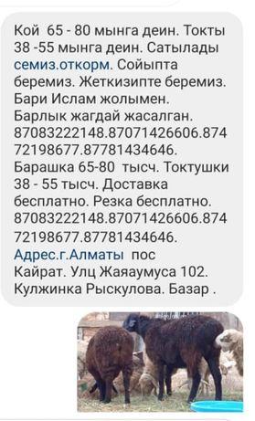Кой токты . Барашка токтушки.  Г. Алматы большой выбор. 38000.