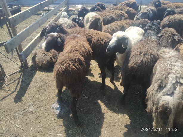 Кой сатылады  Овцы