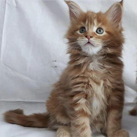 Чистокровны котята Мейн-кун