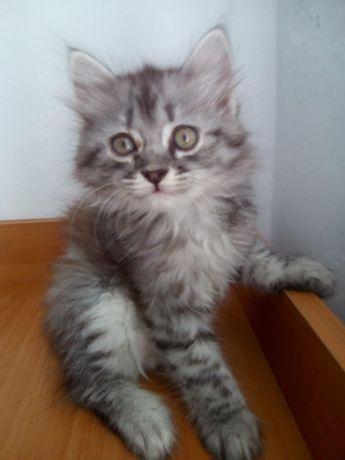 Продам котенка , порода американская