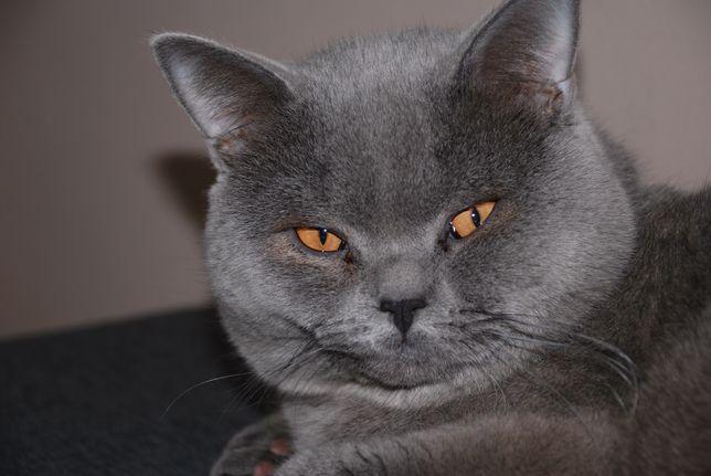 Motan Brithis Shorthair Blue