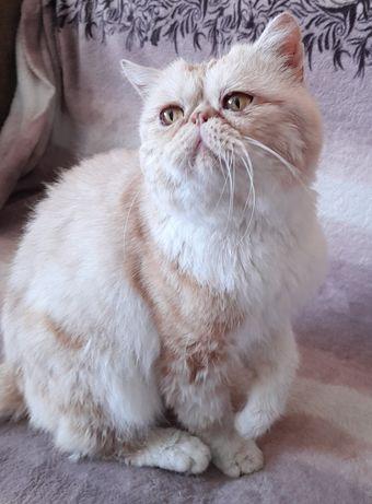 Шикарный кот-экзот на вязку