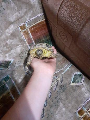 Срочно !!! Продам черепаху