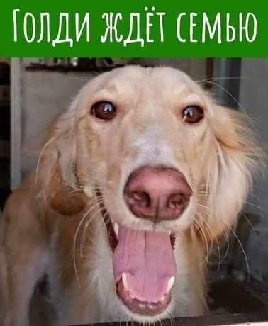 Собака по имени Голди ждет семью