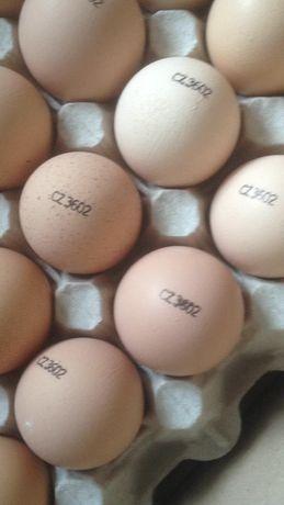 Инкубационное яйцо бройлера кобб500 Чехия