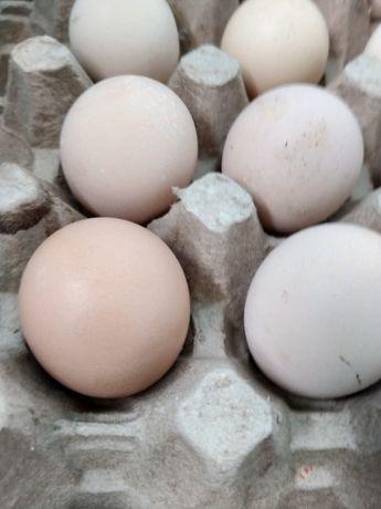 Инкубационный яйцо, кучинской юбилейной