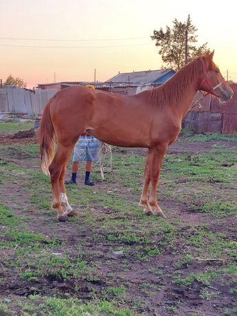 Кобылка. лошадь. Бие