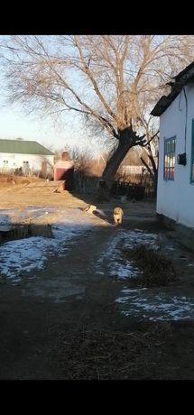Азиат алабай  щенок 6 месяц