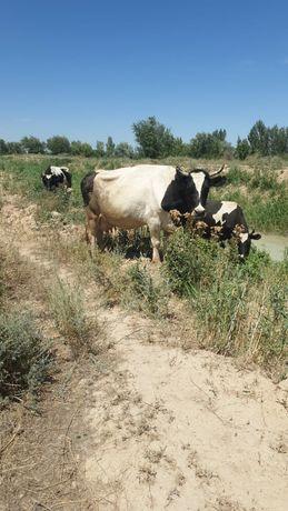 Коровы голыштейн