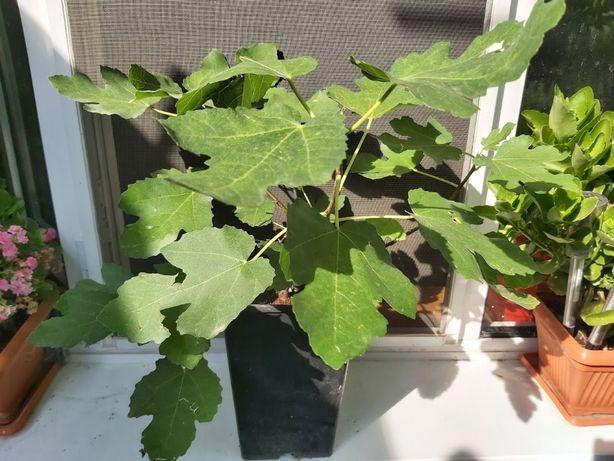 Smochin cu Fructele Mov - Violet dulci. 50 cm pe 6 ramuri