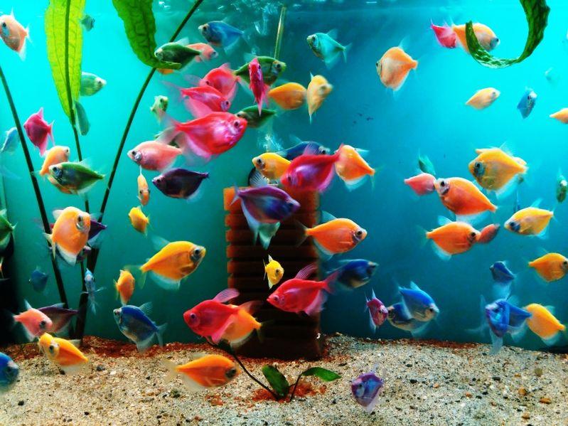 Декоративни рибки гр. Ямбол - image 1