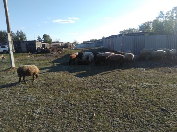 Продам овечик 13 голов Звоните узнавайте кого интересует