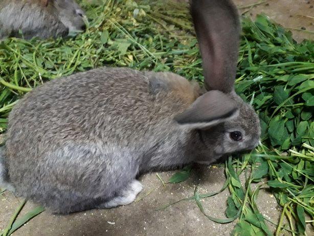 Vând iepuri rasa Uriaş Belgian