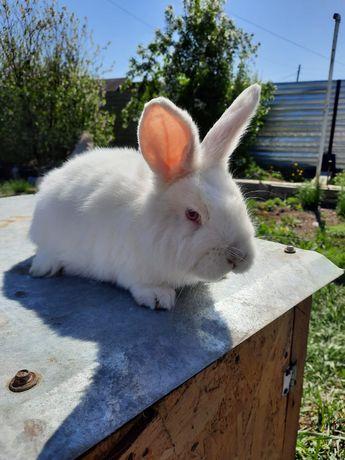 Продам кроликов Калифорнийские ,НЗБ, и простые