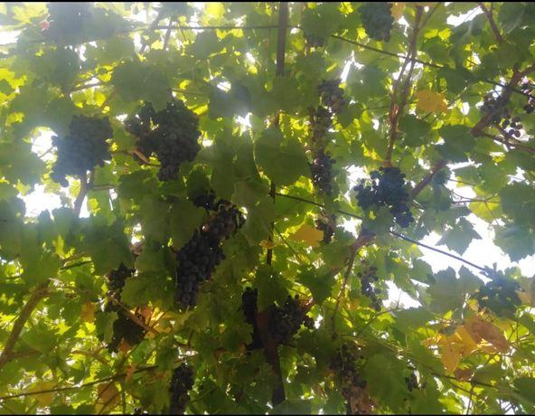 Виноград за 500 тг