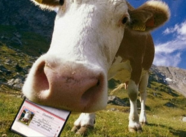 Быки коровы телочки