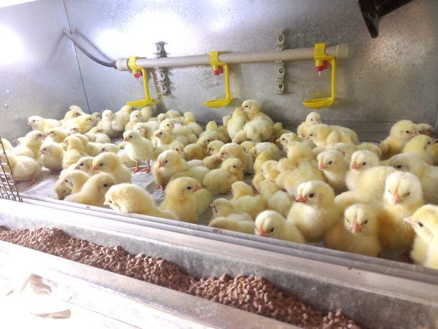 Бройлерный цыплята по 500