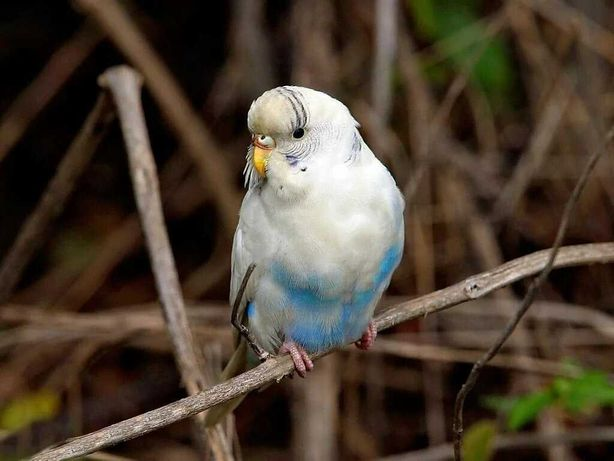 Попугай волнистый - попугайчик