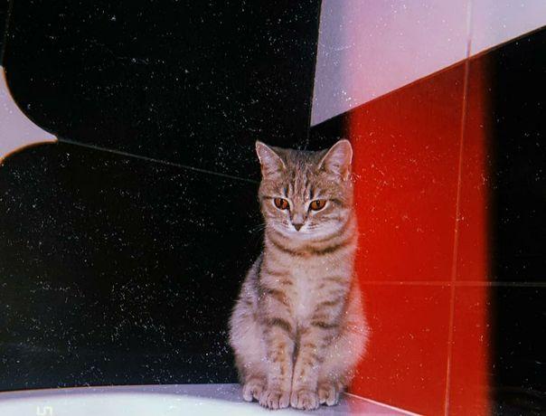 Отдам 2-х породистых кошек в добрые руки.