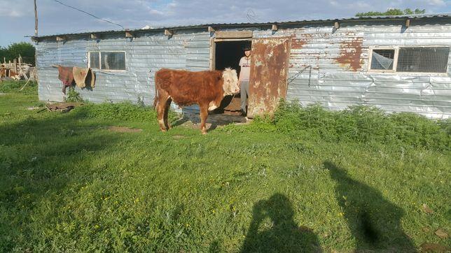 Продам казахского белоголового бычка