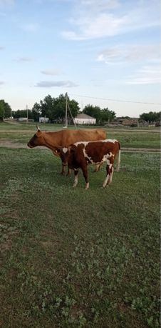 Продам коров , бычки