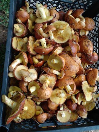 Маслята грибыПродам грибы. Свежесобранные, маслята,  доставка бесплатн