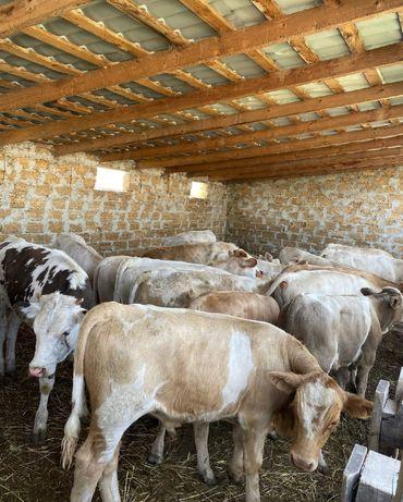 Продаются телята бычки коровы оптом