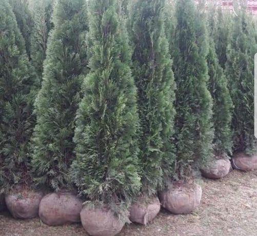 Vindem plante ornamentale copacii de toate specile