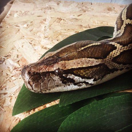 Змея  самец