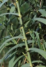 planta trestie uriasa arundo donax