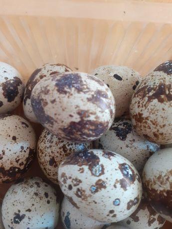 Инкубационные перепелиные  яйцо по 50тг.