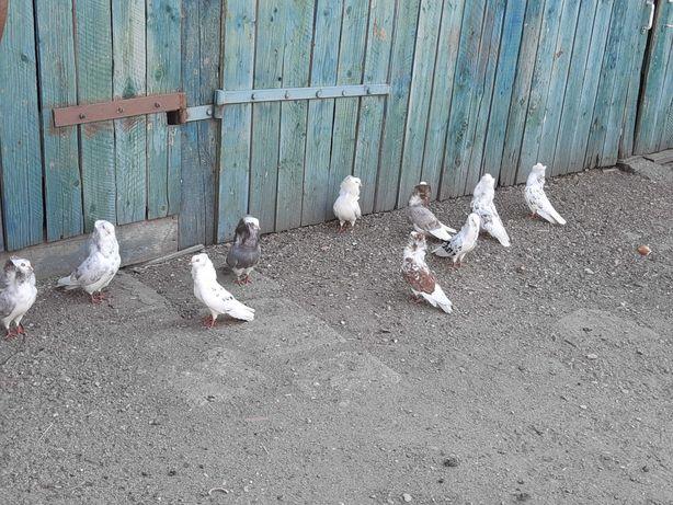 Porumbei Capicinii