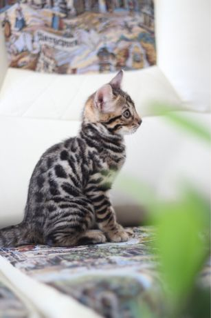 Бенгальские котята, закрытие сезона!