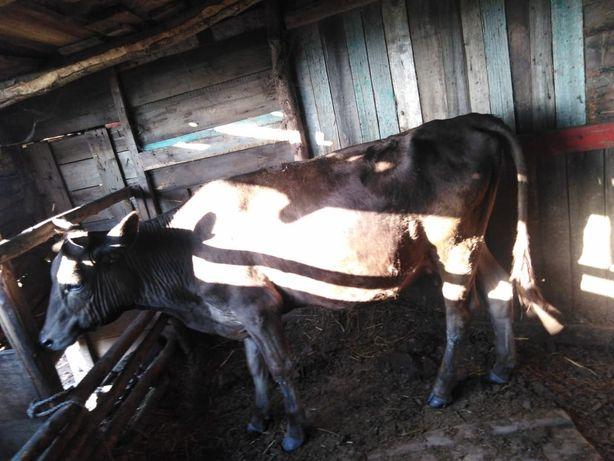 Продаю коров,телят