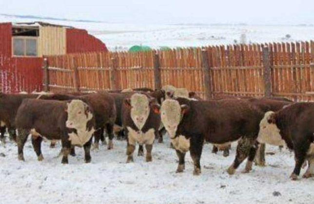 Продаются бычки, тёлки, нетели, коров, телята, абузау, КРС, МРС БЫК748