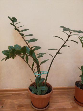 Срочно продаётся комнатное растение