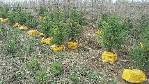 Продаем хвойные и лиственные деревья и кустарники, рассада цветов