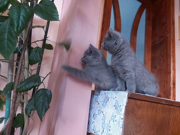 Vand pui de pisica British Shorthair