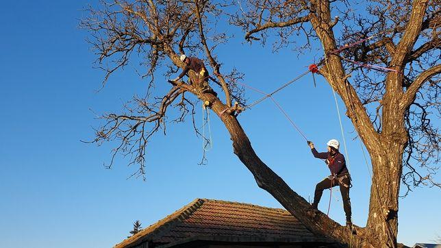 Taiere copaci, iarna pomi riscanti, inalti cu alpinisti utilitari