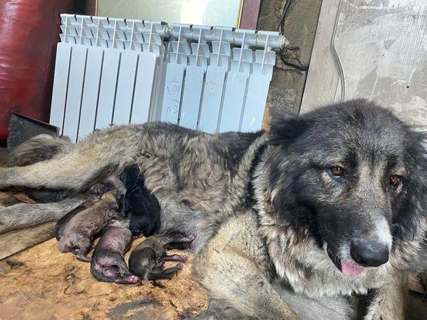 Продам щенки кавказской овчарки.Родились 2августа.Отец на фото.