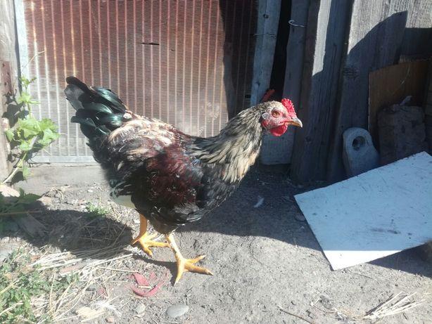 Продам петуха  или обменяю на курицу