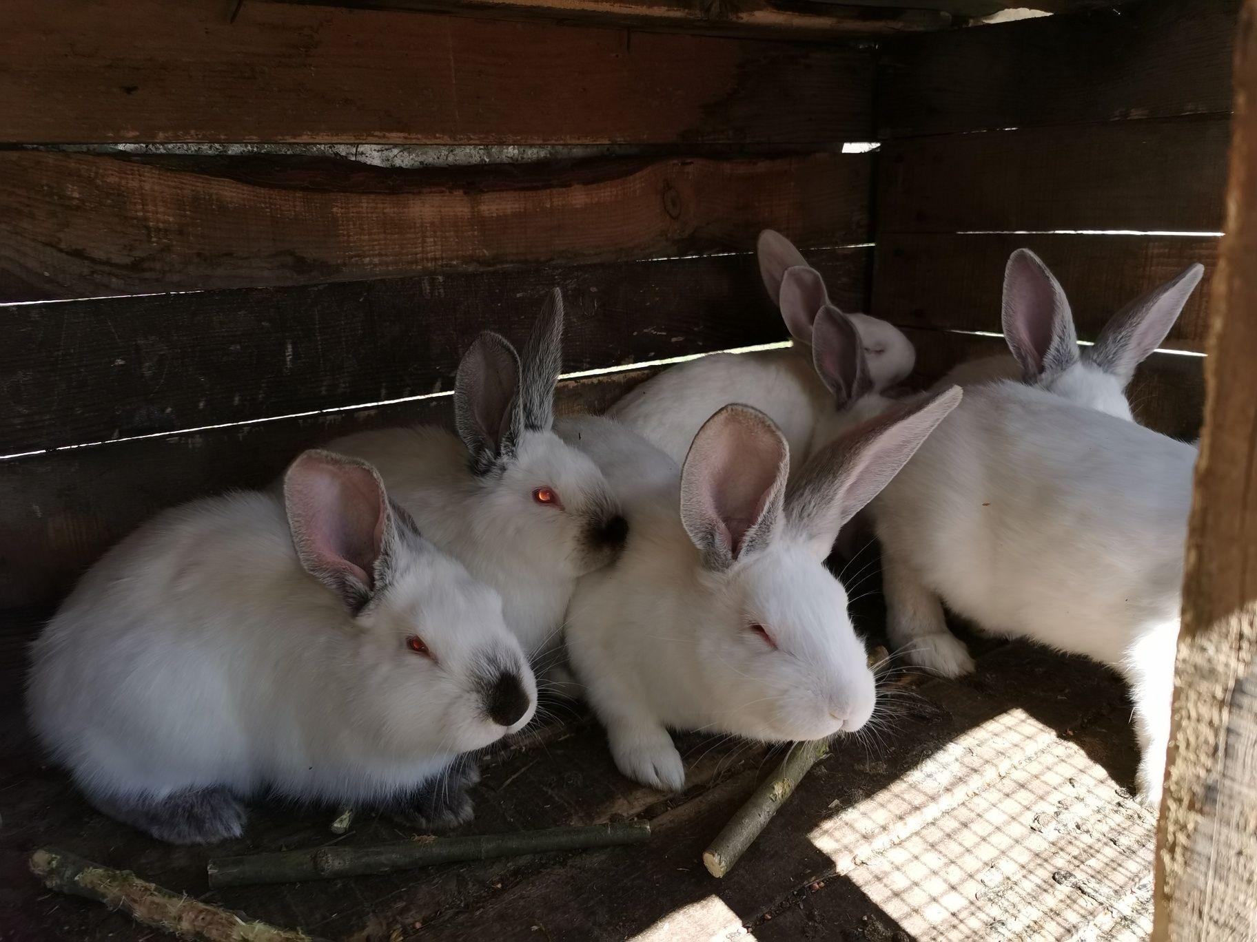 Продавам зайци за угояване