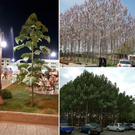 Саженцы быстро растущего дерево Павловния