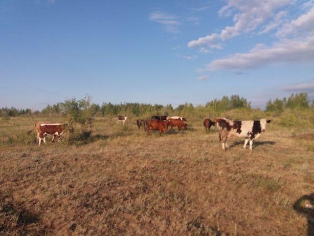 Продам коров, 11 голов + 2 телки и 1 бык