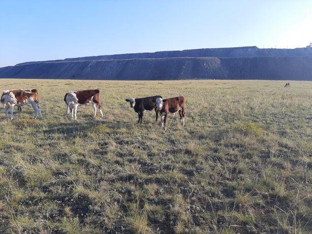Продам корову с бычками