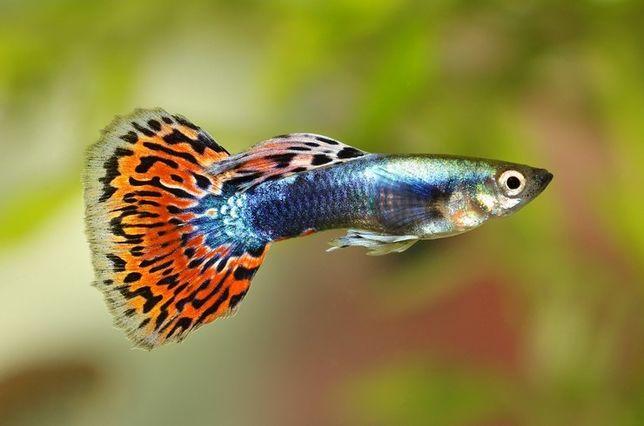 Гуппи мирные рыбки