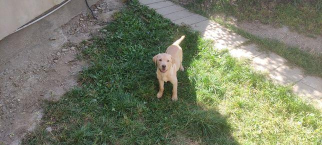 Labrador auriu disponibil