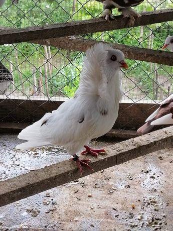 Porumbei voiajori și de ornament de vânzare