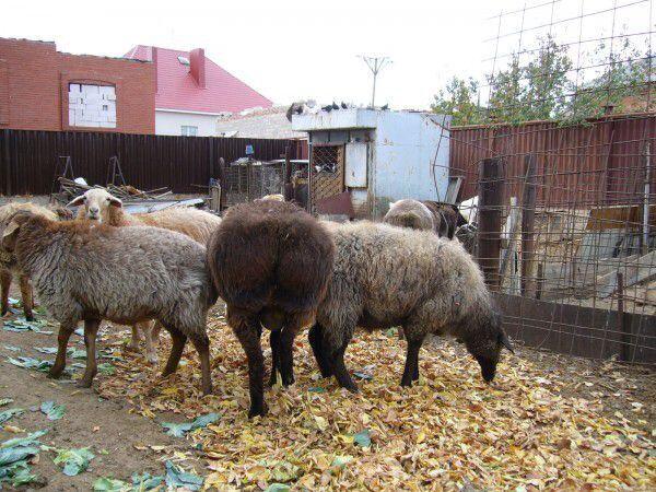 Продам баранов на откорме в Учхозе от 40000